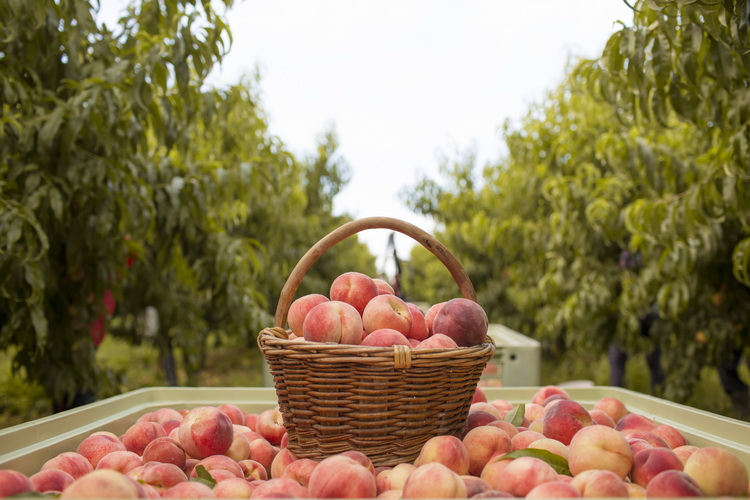Peaches in a basket at an orchard