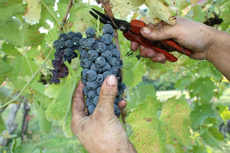 grapes being cut from the vine