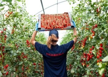 Così Comè tomatoes being harvest
