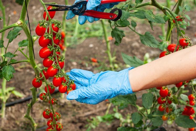 così comè tomatoes hand picked