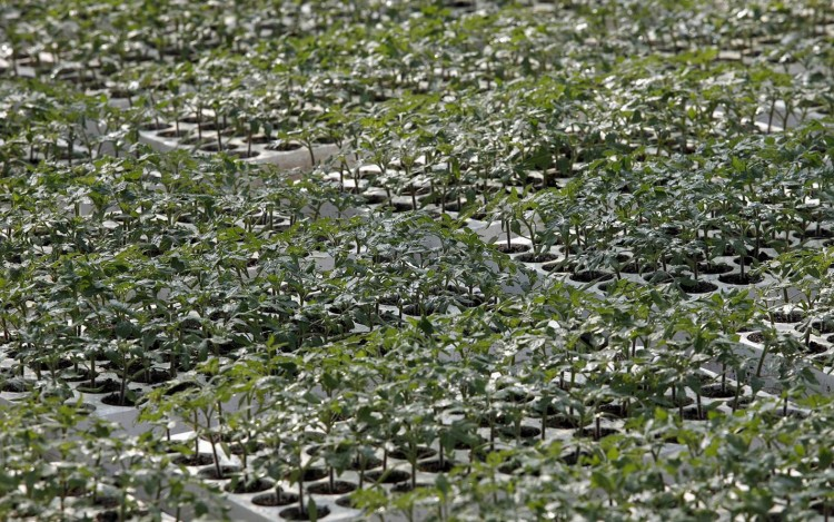 così comè tomatoes greenhouse